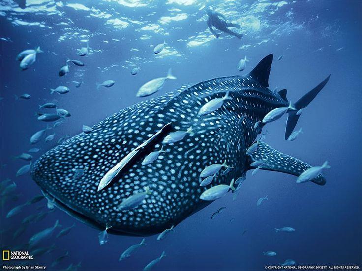 Squalo balena Fotografia di Brian Skerry