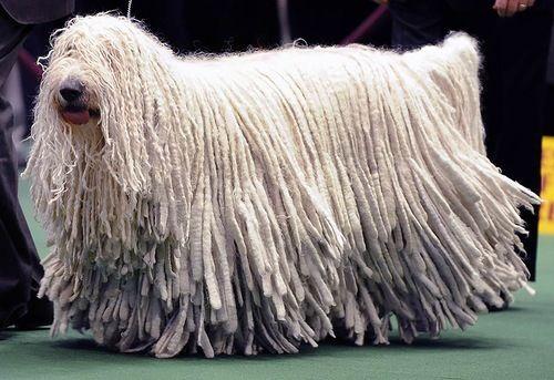 Венгерская сторожевая собака породы комондор