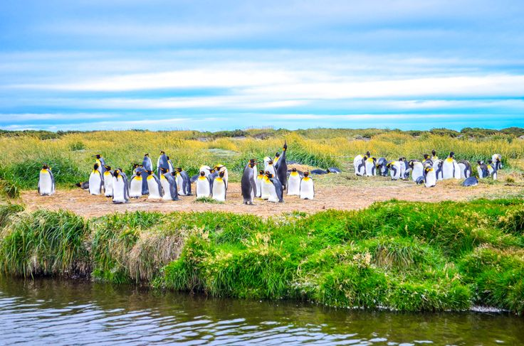 El Pingüino Rey (Aptenodytes patagonicus) es el segundo pingüino más grande. Habitan en la zona pelágica, cerca de la costa y ocasionalmente en estrechos y canales de la Patagonia. Durante la segunda mitad del siglo XIX, fueron exterminados para extraerles el aceite y las plumas, además de llevarse sus huevos. Esto provocó la desaparición de algunas colonias, que en la actualidad se recuperan muy lentamente.