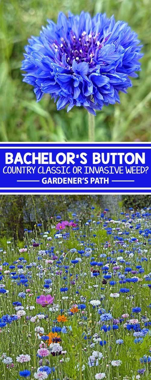 Bachelor�s button is a wildflower that has naturalized throughout the United States. From classic blue to shades of pink, purple, and white, it�s an invasive grower that likes space to roam. Learn about this country classic and see if it�s right for your