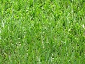 Pesquisa Como cultivar grama dos pampas. Vistas 8245.