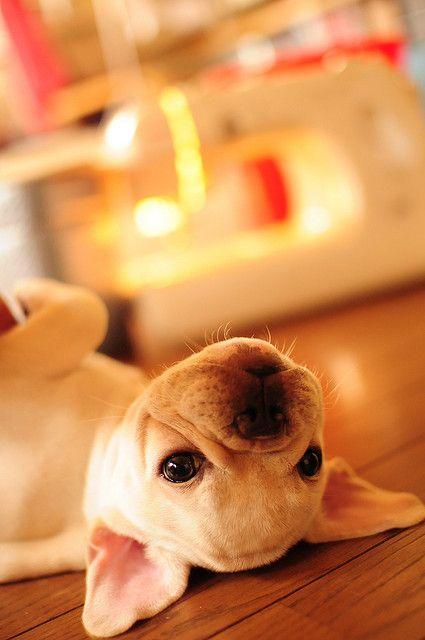 French Bulldog, so cute.