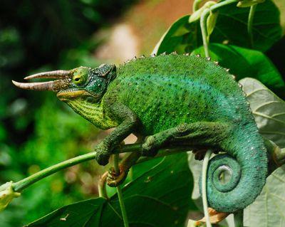 Jackson Chameleon | Jackson's Chameleon