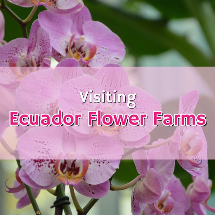 On the Orchids and Flowers of Ecuador Tour you'll visit some of the largest orchid and rose farms in the country.  Around 400 varieties of roses grow in the highlands of Ecuador, and there are 4,032 classified species of orchids growing throughout the country. The country of Ecuador has the highest diversity of orchids in the world.  Visiting Ecuador Flower Farms: Orchids, Roses, and More | Latin Roots Travel (Ecuador)