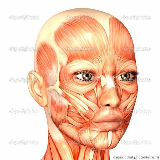 Анатомия 2015. 220315_Мышцы лица (Картинки)