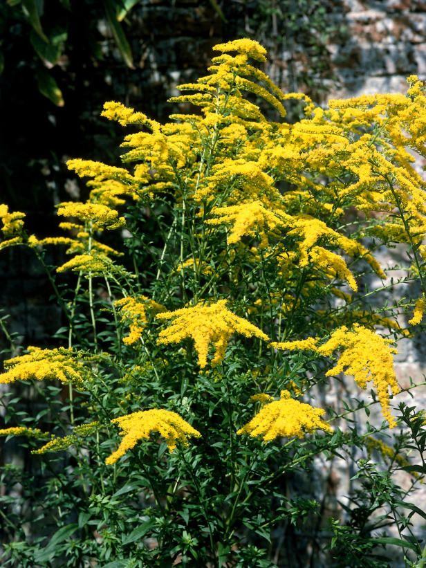 Planting Goldenrod In The Garden: Perennial You Can't Kill: Goldenrod (Solidago Hybrids