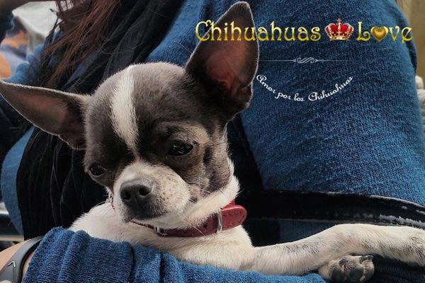Chihuahuas Love - Que es El Pedigree de Un Chihuahua. Chihuahuas Con Pedigree.