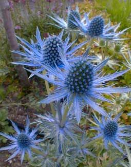 "Sea Holly - it ranges in colour from bright blue to ghostly white (""Miss Wilmott's Ghost"") and needs very little water!"