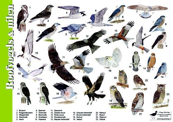 Herkenningskaart roofvogels/uilen