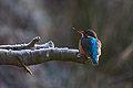 ptaki Zimorodek (Alcedo atthis) fotografia przyrodnicza