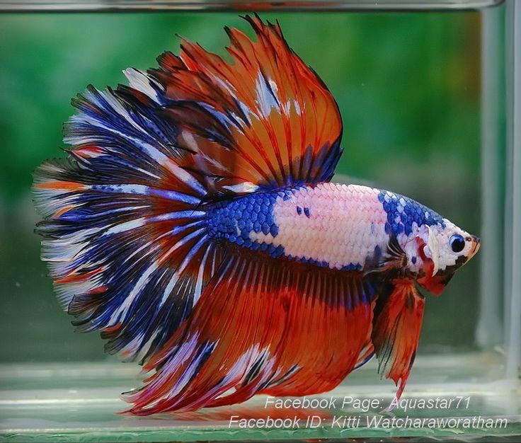 39 best aquarium stuff images on pinterest fish for Betta fish together