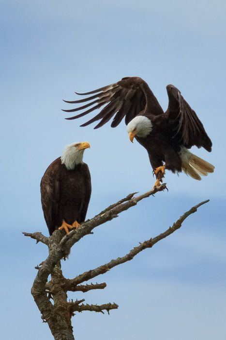 At our campsite in Campbell River, British Columbia, the bald eagles are constantly watching from above, flying by, and diving down for a fish.
