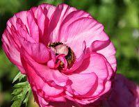 Ranunculus Flower photos