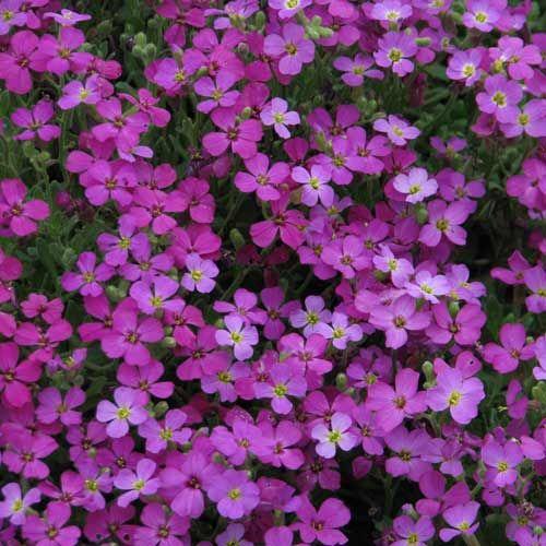 AUBRIETA 'Leichtlinii'  (Aubriète) : Leurs tapis colorés sont célèbres en rocailles, dallages et murets, dans des terres pas trop sèches. Cette variété à petites feuilles vertes semi persistantes se couvre au printemps de fleurs rose carmin brillant.