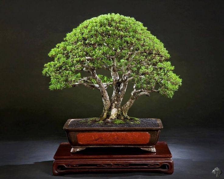 Bonsai gallery bonsai empire bonsai great art or for Famous bonsai trees