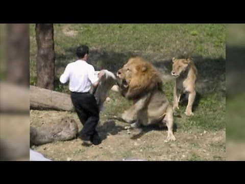 Crazy Man Jumps into Lion Enclosure at the Taipei ZOO in Taiwan and Gets Attacked - My Videos Update