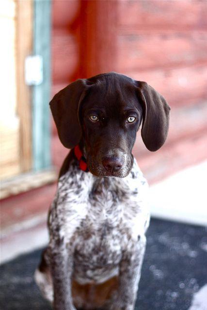German shorthair pup.