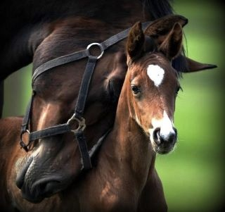 Image result for foals and mother