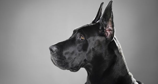 Câinii de rasă, sau pur-sânge au fost creați de către oameni prin înmulțiri selective pentru diferite scopuri, în funcție de calitățile dezvoltate...