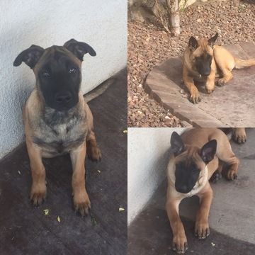 Litter of 3 Belgian Malinois puppies for sale in EL PASO, TX. ADN-43455 on PuppyFinder.com Gender: Male(s) and Female(s). Age: 16 Weeks Old