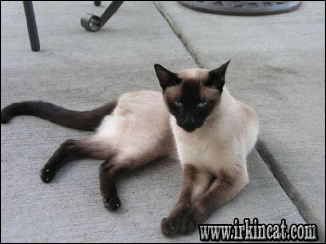 Me Ha Hecho Acordar Ami Chatran Que Estubo Conmigo Durante 19 Anos Sigue Estando En Mi Corazon Y Memoria Emocional Tabby Cat Siamese Cats Facts Gorgeous Cats