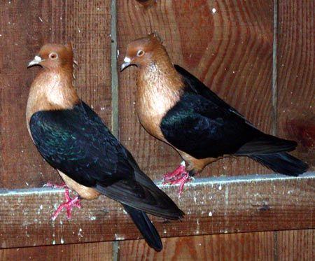 Archangel Pigeon   copper black wing