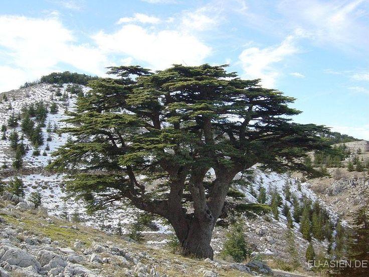 Zedern_Barouk_Libanon_Natur-marked