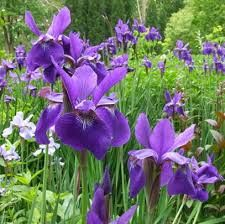 "Iris sibirica ""Silver Edge"" strandiris - längs med garageinfarten"
