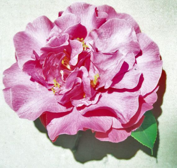 (C.japonica)  Camellia Grove Nursery Catalogue, 1951; Waterhouse, 1952, Camellia Trail, p.30: A seedling from Camellia Grove Nursery, St. Ives, Sydney. Large, informal double, salmon rose, resembling Leviathan but flatter in the centre. Three or four rows of large, outer petals and a confused centre of half size petals, petaloids and stamens. Mid-season blooming. Orthographic error: 'Australia'. Chinese synonym 'Aozhou Zhi Guang'.