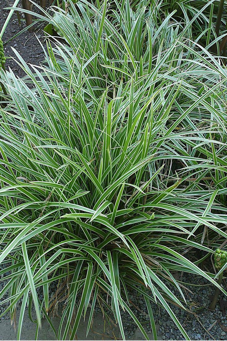 """Carex morrowii Ice Dance 12 - 16"""" tall, 18 - 24"""" wide Light: Full Sun, Part…"""