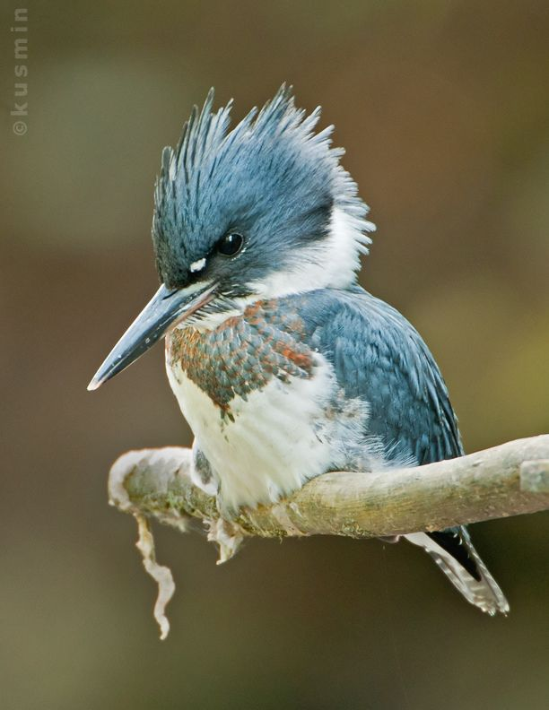 Belted Kingfisher (Ceryle alcyon) photographed by Kusmin&Api in North…
