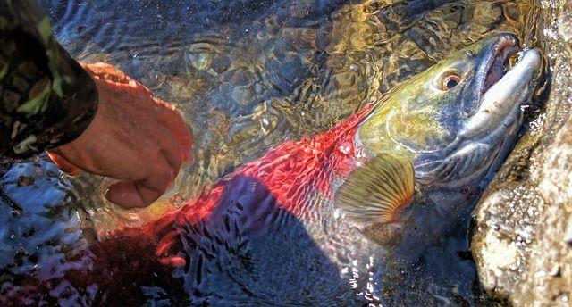 Lachs, Fluss, Fisch, Fischerei, Rot - Kostenloses Bild auf Pixabay