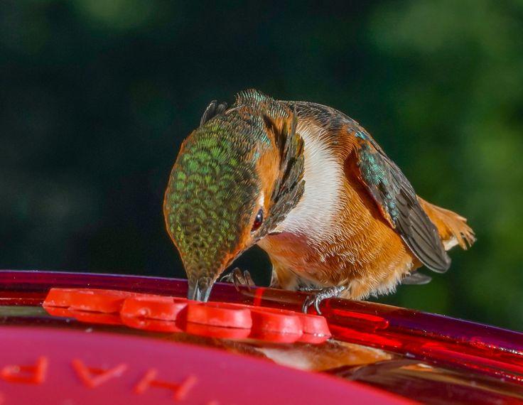 Best Happy Hummingbirds Images On Pinterest Beautiful Birds - Photographer captures amazing close up photos of hummingbirds iridescent feathers