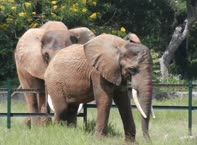 Mysore Zoo African Elephants 2