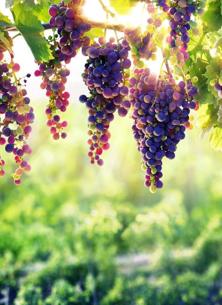 Black grapes real natural green blur mobile wallpaper #Fruits #black #grapes #re…