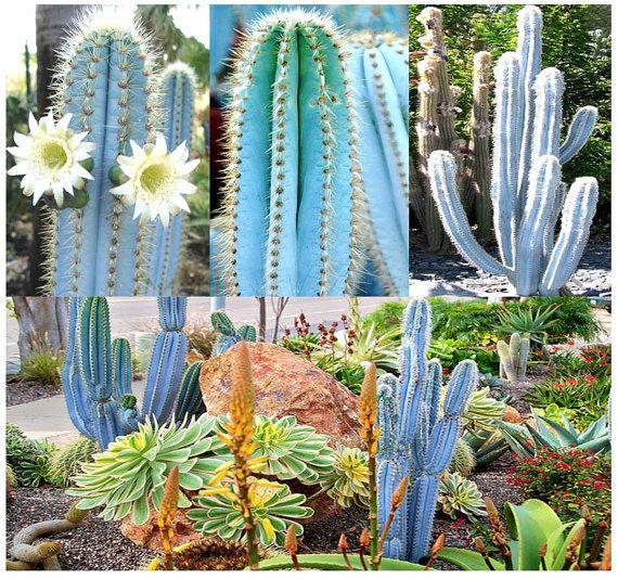30 x Pilosocereus BLUE RARE Cactus Mix  by ALLooABOUTooSEEDS