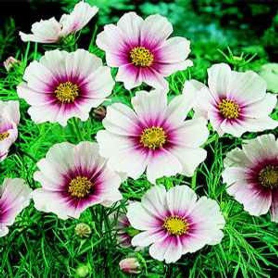 Cosmos Day Dream Flower Seeds Mexican Aster Annual 50 In 2020 Cosmos Flowers Annual Flowers Flower Seeds