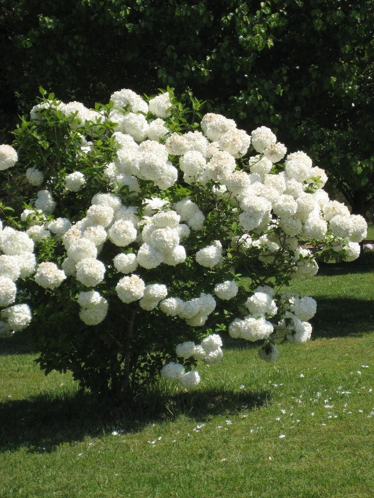 Chinese snowball is one of spring's showiest shrubs. White flower clusters 6 to 8 inches across festoon its branches in late spring. The plant gets big—12 to 20 feet tall and wide. Though it looks like a hydrangea, it's actually a viburnum.