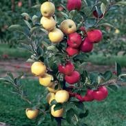Multi Grafted Fruit Trees.  Good for a small space garden because 1 tree is self-pollinating.