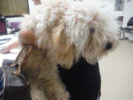Fort Worth, TX Poodle (Miniature). Meet DiazDuran a Dog