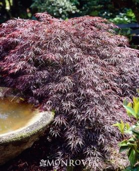 Monrovia's Tamukeyama Japanese Maple details and information. Learn more about Monrovia plants and best practices for best possible plant performance.