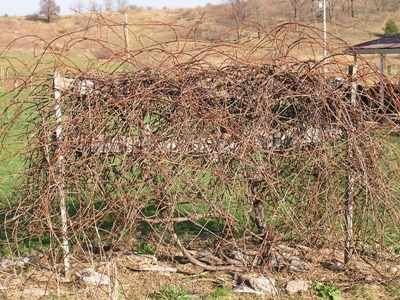 Great pictures detailing how to prune overgrown grapevines