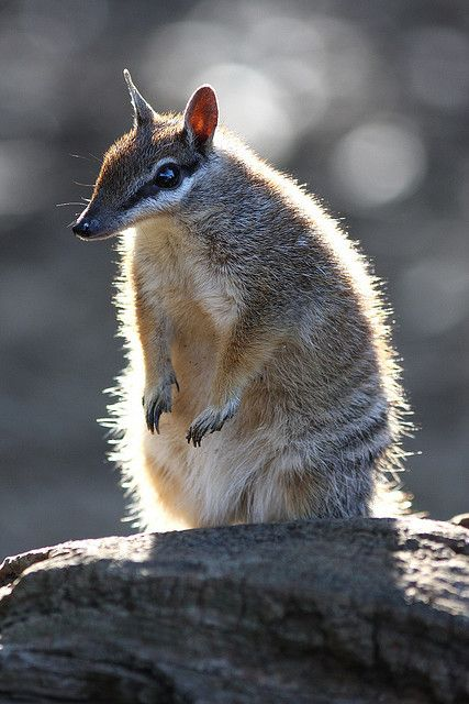 Numbat by Mark_Coates, via Flickr. The numbat (Myrmecobius fasciatus), also known as the banded anteater, marsupial anteater, or walpurti, is a marsupial found in Western Australia. Its diet consists almost exclusively of termites. Once widespread across southern Australia, its range is now restricted to several small colonies, and it is listed as an endangered species. Family: Myrmecobiidae