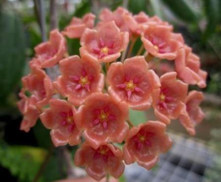 Hoya sigillatis [Family: Apocynaceae]