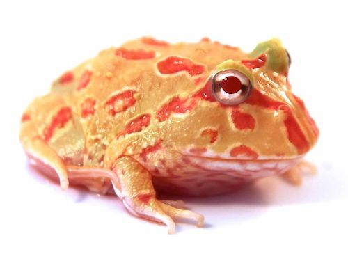 Albino Pacman frog for sale