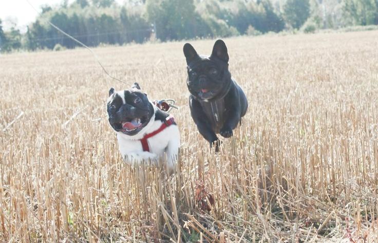 To franske bulldogger i full fart på et av Nykirkes mange jorder. Til venstre er det Ozzy på 16 måneder og til høyre i bildet er det Helmer på 20 måneder.