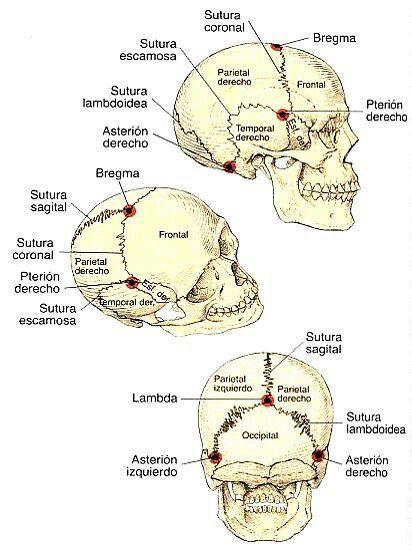 Suturas craneales. #Cráneo
