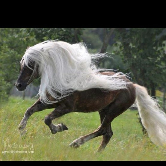 *White Hair, Horses, Beautiful Hors, Ponies, Rocky Mountain, Blond, Me, Beautiful Creatures, Animal