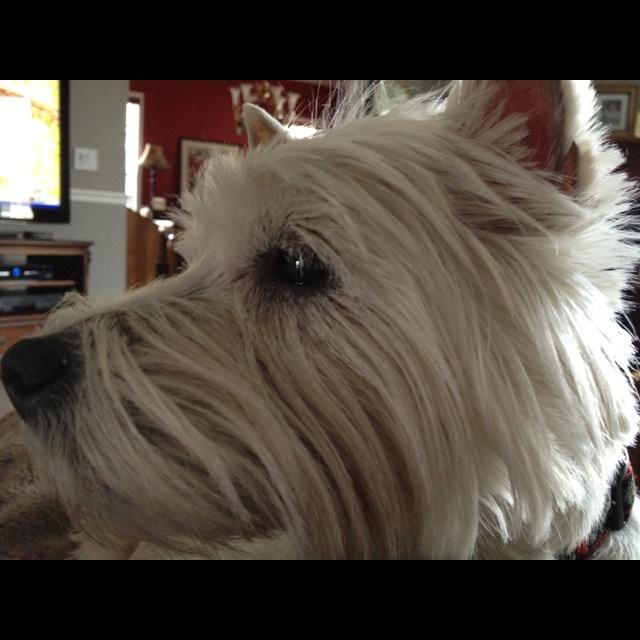 Westie in profile