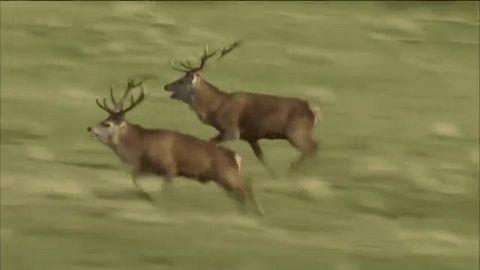 """""""   Red Deer Rut 🐏    Isle Of Rum, Inner Hebrides, Scotland """""""